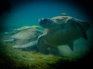Green Turtle Suppenschildkröte Marsa Abu Dabbab
