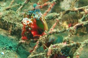 Mantis Shrimp Bali 2015 Diving