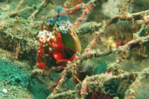 Mantis Shrimp Bali 2015 Diving